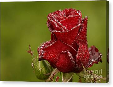 Raindrops On Roses Canvas Print