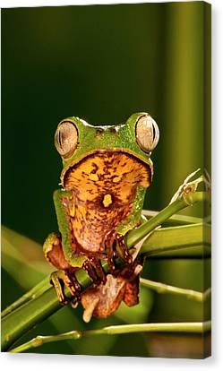 Anuran Canvas Print - Razor Backed Monkey Frog Phyllomedusa by David Northcott