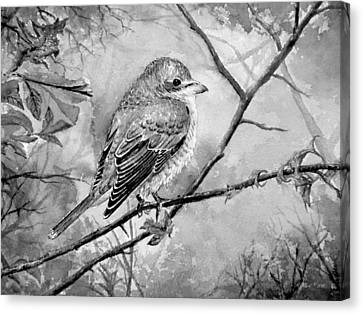 Red Backed Shrike Canvas Print