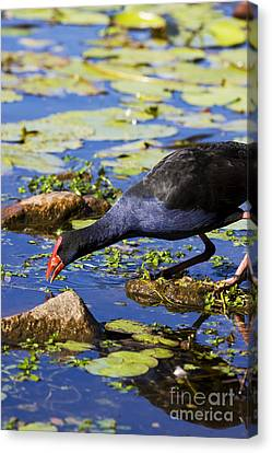 Feeding Canvas Print - Red Billed Coot by Jorgo Photography - Wall Art Gallery