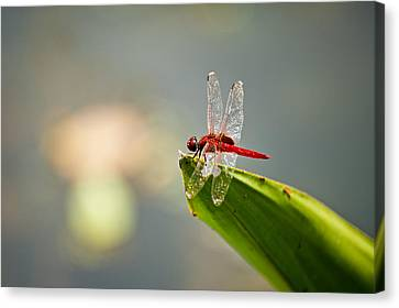Red Dragonfly Canvas Print by Ulrich Schade