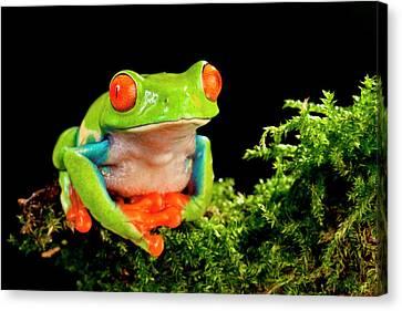 Anuran Canvas Print - Red Eye Treefrog, Agalychnis by David Northcott