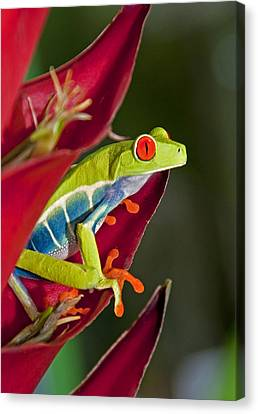 Canvas Print featuring the photograph Red Eyed Tree Frog 2 by Dennis Cox WorldViews