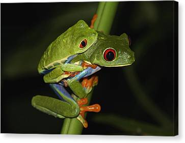 Red-eyed Tree Frogs Mating Costa Rica Canvas Print