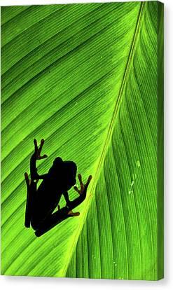Red-eyed Treefrog (agalychnis Callidryas Canvas Print by Andres Morya Hinojosa