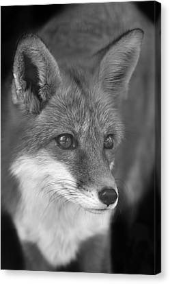 Canvas Print featuring the photograph Red Fox  by Brian Cross