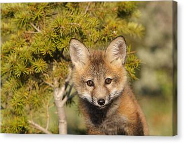Fox Kit Canvas Print - Red Fox Cub by M. Watson