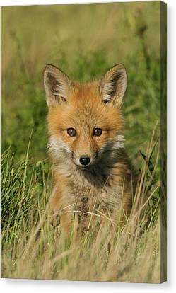 Red Fox Kit Canvas Print