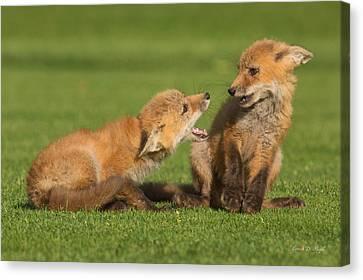 Fox Kit Canvas Print - Red Fox Kits by Everet Regal