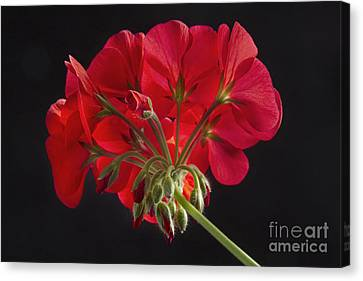 Red Geranium In Progress Canvas Print by James BO  Insogna