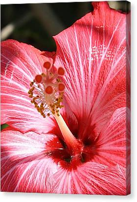 Red Hibiscus Canvas Print by Bruce Bley
