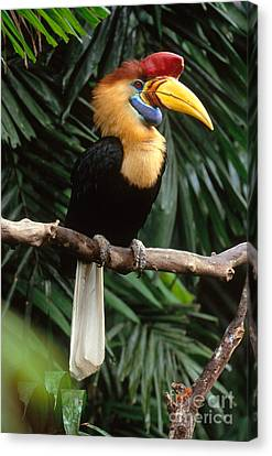Hornbill Canvas Print - Red-knobbed Hornbill by Art Wolfe
