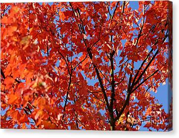 Red Leaves Of Autumn Canvas Print by David Birchall