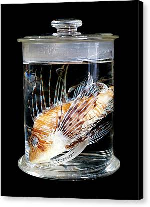 Red Lionfish Canvas Print by Natural History Museum, London