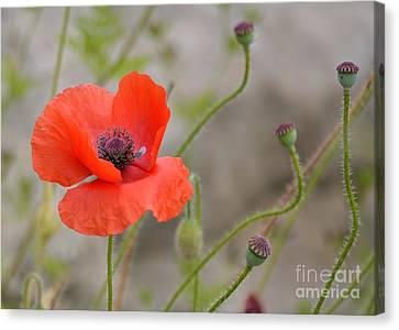 Canvas Print featuring the photograph Red by Lisa L Silva