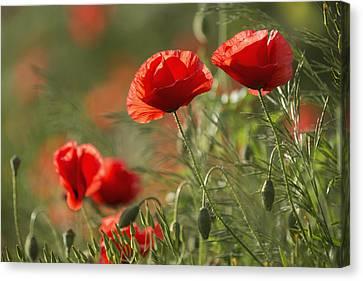 Red Poppy _papaver Rhoeas__ Upper Rhine Canvas Print by Carl Bruemmer