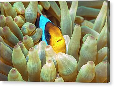 Red Sea Anemonefish Canvas Print by Georgette Douwma