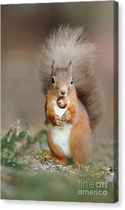 Red Squirrel Eating A Hazel Nut Canvas Print