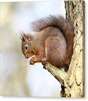 Bushy Tail Canvas Print - Red Squirrel Portrait by Grant Glendinning