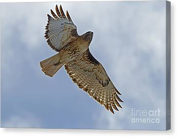Red-tail Hawk #3094 Canvas Print by J L Woody Wooden