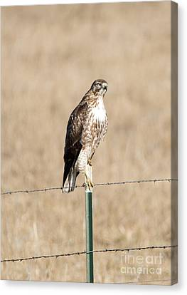 Red Tail Stare Canvas Print by Mike Dawson