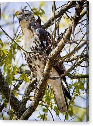 Canvas Print featuring the photograph Red Tailed-hawk by Ricky L Jones