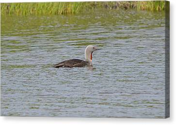 Red-throated Loon Canvas Print by James Petersen