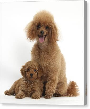 Red Toy Poodle Dog And Puppy Canvas Print by Mark Taylor