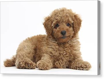 House Pet Canvas Print - Red Toy Poodle Puppy by Mark Taylor