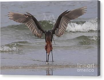Reddish Egret Fishing Canvas Print by Meg Rousher