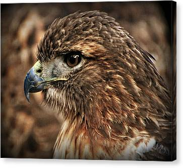 Redtail Canvas Print by Marty Koch