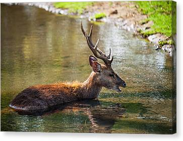 Refreshing 3. Male Deer In The Pampelmousse Botanical Garden. Mauritius Canvas Print by Jenny Rainbow
