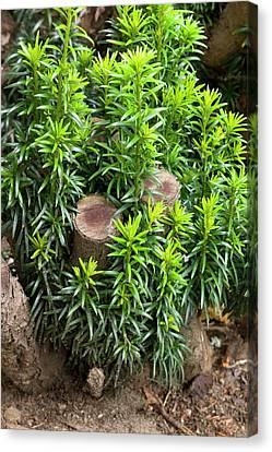 Pruning Canvas Print - Regrowth Of Coppiced Yew (taxus Baccata) by Dr Jeremy Burgess