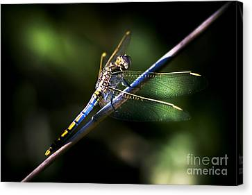 Resting Dragonfly Canvas Print by Jorgo Photography - Wall Art Gallery