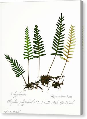 Resurrection Fern 2 Canvas Print