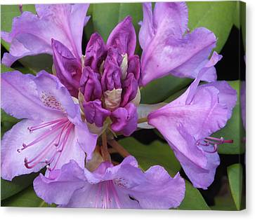 Canvas Print featuring the photograph Rhododendron by Gene Cyr