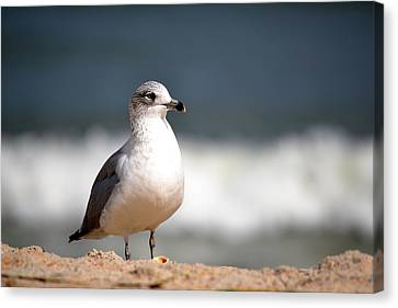 Ring Billed Gull Canvas Print by Krystal Goldie