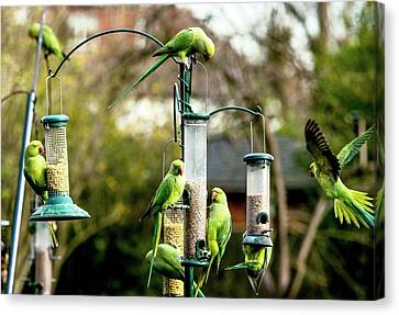 Ring-necked Parakeets Canvas Print by Georgette Douwma