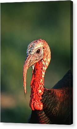 Rio Grande Wild Turkey (meleagris Canvas Print by Richard and Susan Day