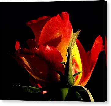 Rising Rose Canvas Print by Camille Lopez