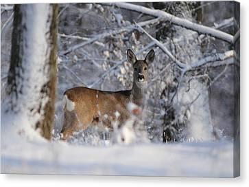 Canvas Print - Roe  Deer by Dragomir Felix-bogdan