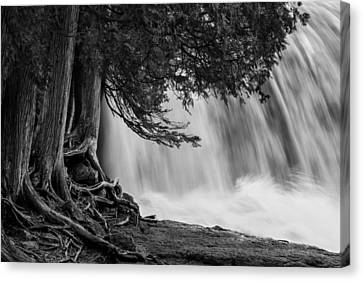 Rooted In Spring Mary Amerman Waterfall Cedar Tree Roots Tree Roots Canvas Print - Rooted In Spring  by Mary Amerman