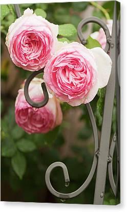 Rosa 'eden' Flowers Canvas Print
