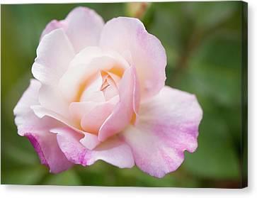 Rosa 'gruss An Aachen' Flower Canvas Print