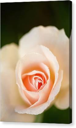 Rosa 'johann Strauss' Flower Canvas Print