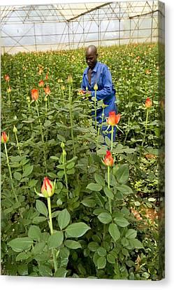 Rose Nursery, Zimbabwe Canvas Print