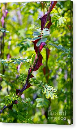 Rose Rosa Sericea Pteracantha Canvas Print by Dr. Keith Wheeler