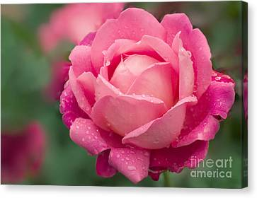 Rose Rosa Star Of The Nile Canvas Print by Maria Mosolova