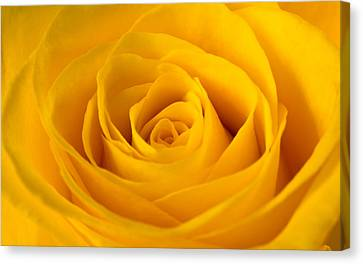 Rose Canvas Print by Scott Carruthers