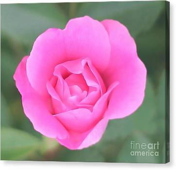 Rose. Canvas Print by Sylvia  Niklasson